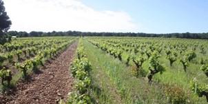 enherbement de la vigne