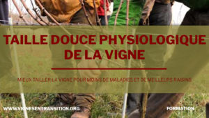 taille douce vigne
